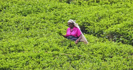 local : Harvesting tea in Sri Lanka. Woman worker picking tea on green field