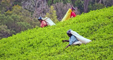 indian tea : Fresh young tea leaves on green hills picked by local female workers in Sri Lanka countryside