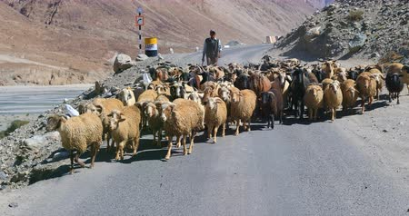 zelândia : Flock of goats and sheep travel on Himalaya mountain road with shepherd following. Domestic animals and agriculture of Ladakh region in northern India