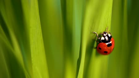 joaninha : Closeup of the lady bug in the green grass Stock Footage