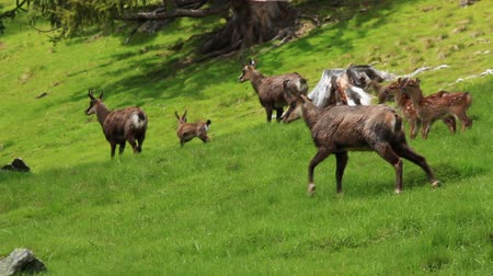 chamois : Herd of chamois animals on the pasture in France alps near Mont Blanc Stock Footage