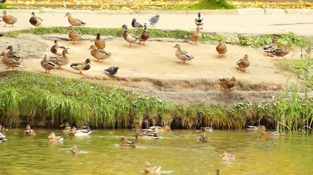 sassy : Ducks on the Shore Stock Footage