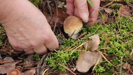 gatherer : Gatherer of mushrooms found and cut a small mushroom