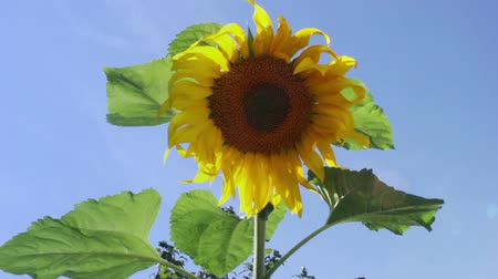Sunflower head swaying on a light breeze Stock Footage