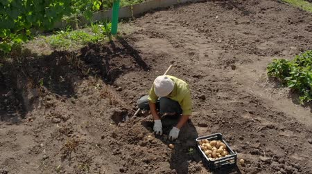 dacha : Summer resident engaged in digging potatoes on a small field