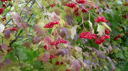 arbusti : Bright red berries of viburnum in October. Foliage also became with red shade