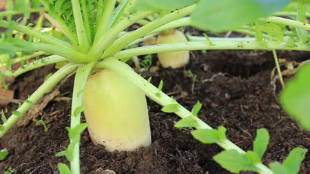 daikon radish : Daikon in the garden, autumn vegetable