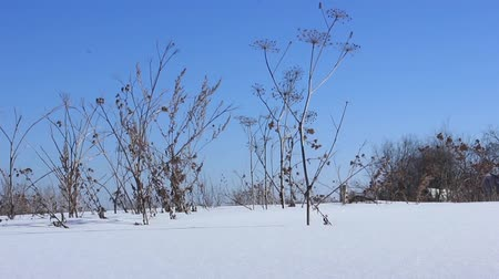 Dry grass sways in the snow in the wind. February Stock Footage