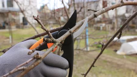 Spring. Gardener produces sanitary pruning of branches fruit trees