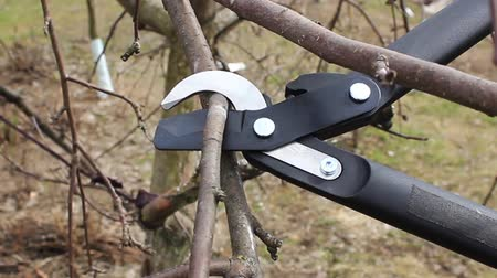 Pruning apple tree branches in April with big secateurs Stock Footage