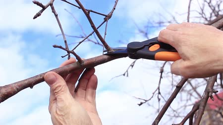 Springtime, pruning fruit tree branches in garden with secateur