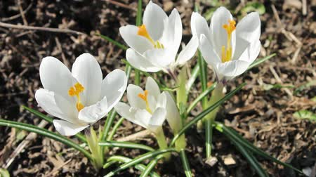 beporzás : Spring breeze pumps white crocus flowers. April