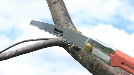 Pruning tree branches in spring orchard with a hacksaw