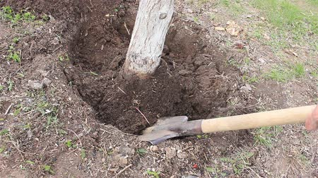 Removing, digging up unnecessary old tree in the garden in spring