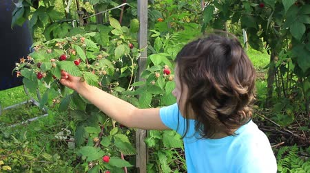 Teen girl in garden eats raspberries, picking them from bush Stock Footage