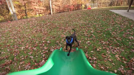 slayt : Shot of a Dog playing in front of a Green Slide and looking up.  Footage was taken from the top of the Slide