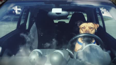 řídit : Daytime Front shot of a Pitbull sitting on the Driver's Seat of Car