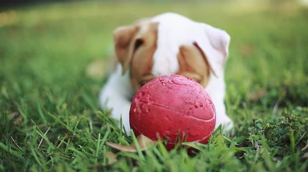 köpek yavrusu : Shot of a Cute American Bulldog puppy with green eyes playing with a Red ball on the grass during a beautiful day