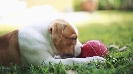 buldog : Profile shot of a really cute American Bulldog puppy with green eyes playing with a red ball on the grass during a beautiful sunny day.