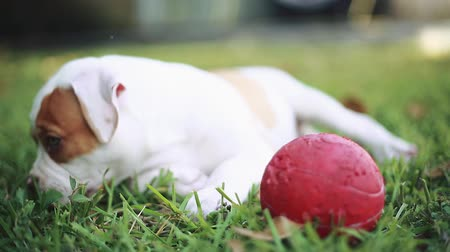 щенок : Cool shot of an adorable American Bulldog puppy with green eyes laying down in the grass and playing with a red ball out on a beautiful day