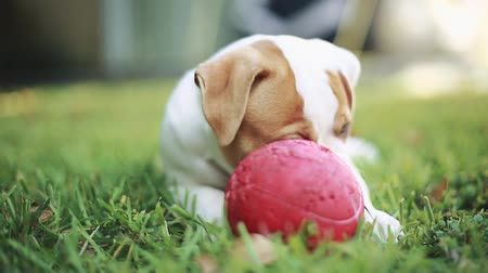 bonitinho : Cool shot of cute puppy with green eyes, American Bulldog, laying down, eating grass and playing with a red ball outside on a beautiful day