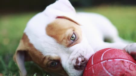 köpek yavrusu : Great close-up shot of cute American Bulldog puppy with green eyes biting and playing with red ball while laying down on grass out during a beautiful day