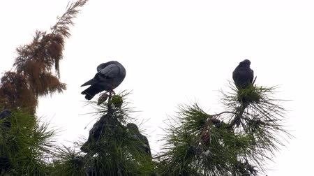 rock dove : Pigeons on the Tree