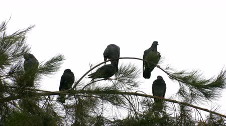 palombe : Pigeons on the Tree