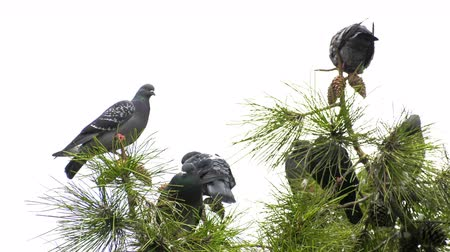 observação de aves : Pigeons on the Tree