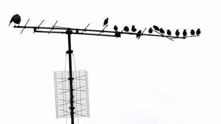 farpado : birds on old tv antenne