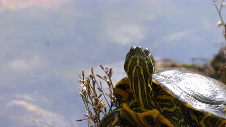 yaratık : Turtle on the rocks in lake