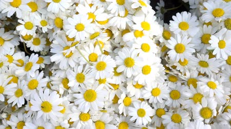 kwiat : White daisy flowers