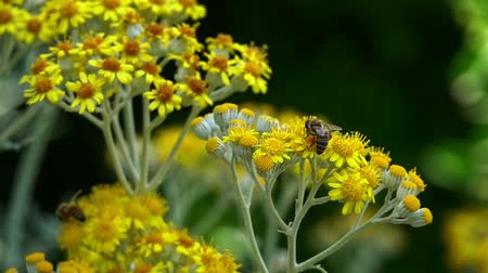 floweret : Bee on Yellow Flowers in Nature Stock Footage