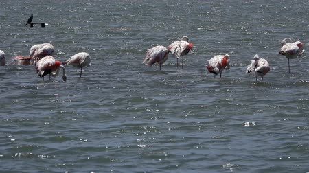 flamingi : Flamingo Birds on Sea Water