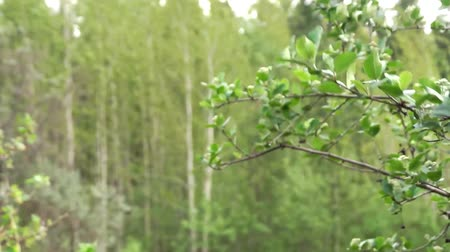 esinti : Forest trees on breeze  Stok Video