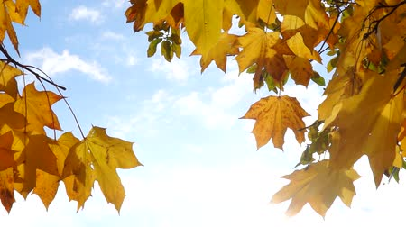 Sunny autumn sky and maple leaves Wideo