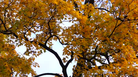 Yellow crown of maple tree