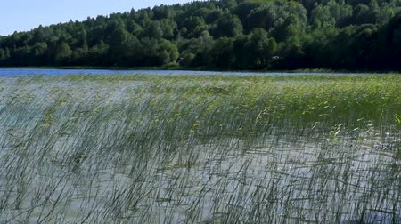 Wild lake and reeds in windy weather in summer Wideo