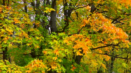 Yellowing foliage maple trees
