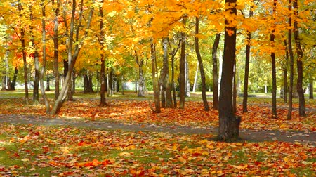 Maple trees pathway Wideo