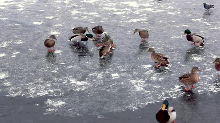 kaczka : Funny ducks on pond ice seeking for food