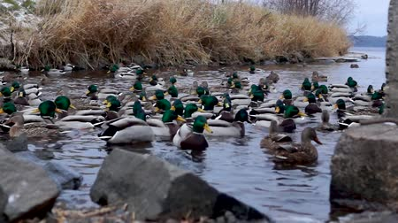 Wintering ducks in river