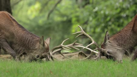 might : A pair of Red Deer stags test out each others strength in a quiet woodland copse.
