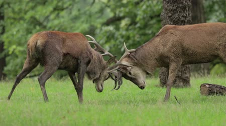 papel : A pair of Red Deer stags test out each others strength in a quiet woodland copse.