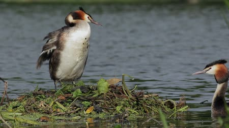 ninhada : Great crested grebe (Podiceps cristatus) pair, tending the nest.