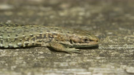 bearer : Close-up of a Common Lizard (Zootoca vivipara) basking on in the sun on wood