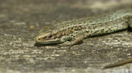предъявитель : Close-up of a Common Lizard (Zootoca vivipara) basking on in the sun on wood