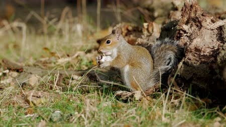 sciuridae : Grey or Gray Squirrel (Sciurus carolinensis) foraging for food in an autumn woodland