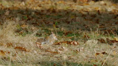 sciuridae : Grey or Gray Squirrel (Sciurus carolinensis) feeding on chestnuts in an autumn woodland