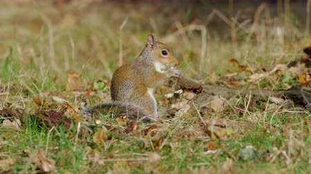 sciuridae : Grey or Gray Squirrel (Sciurus carolinensis) feeding on mushrooms or fungi in an autumn woodland